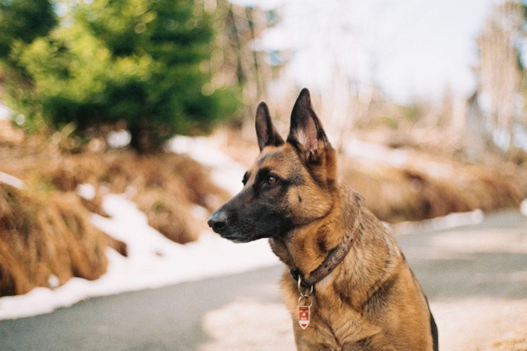 german shepherd, pet, animal
